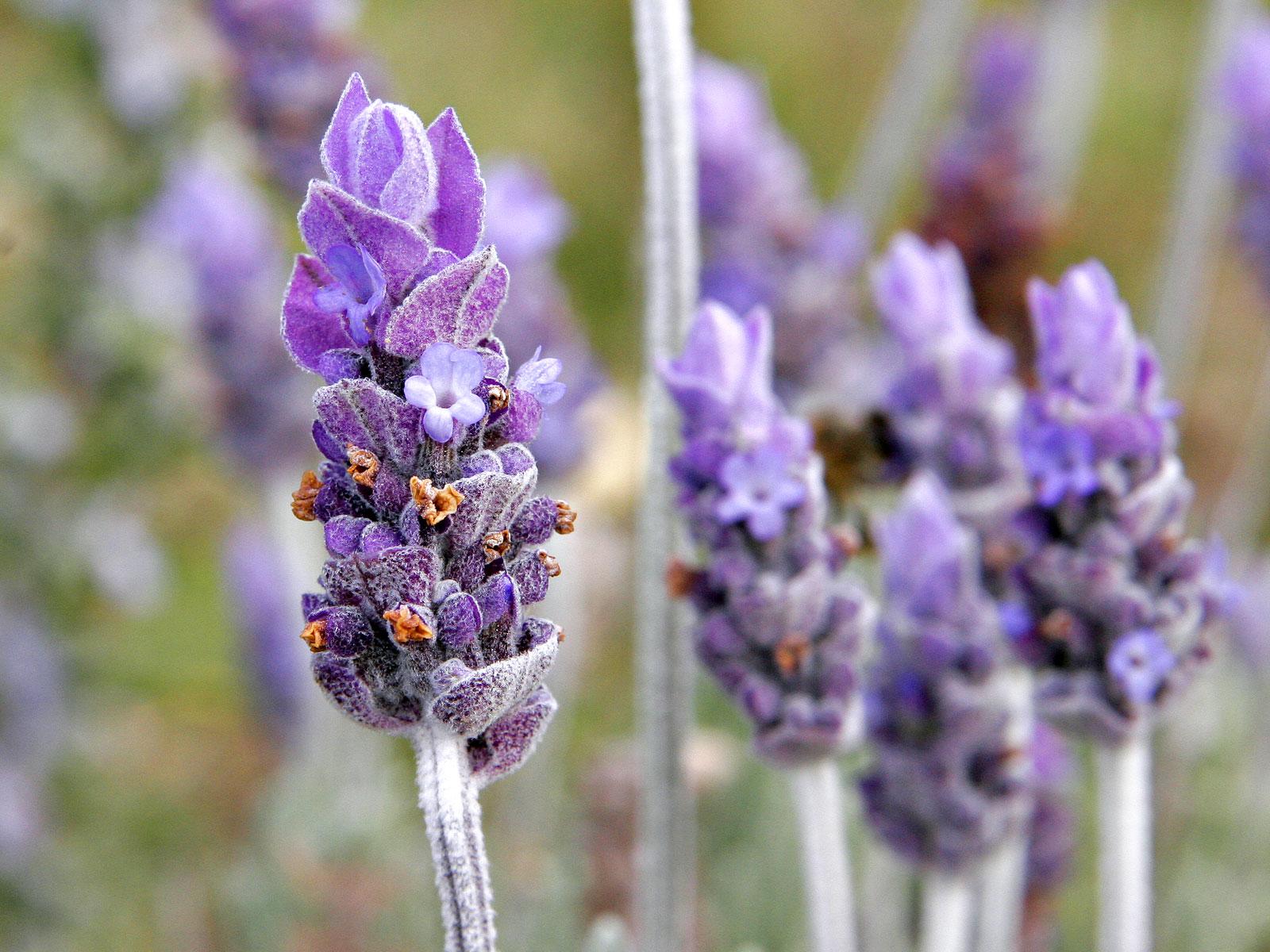 Single_lavendar_flower02